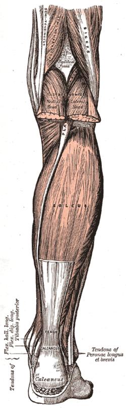 soleus origin fibula, medial border of tibia (soleal line) insertion tendo  calcaneus artery sural arteries nerve tibial nerve, specifically,