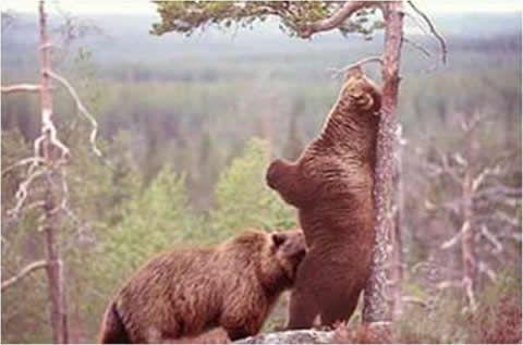 Bears oral sex