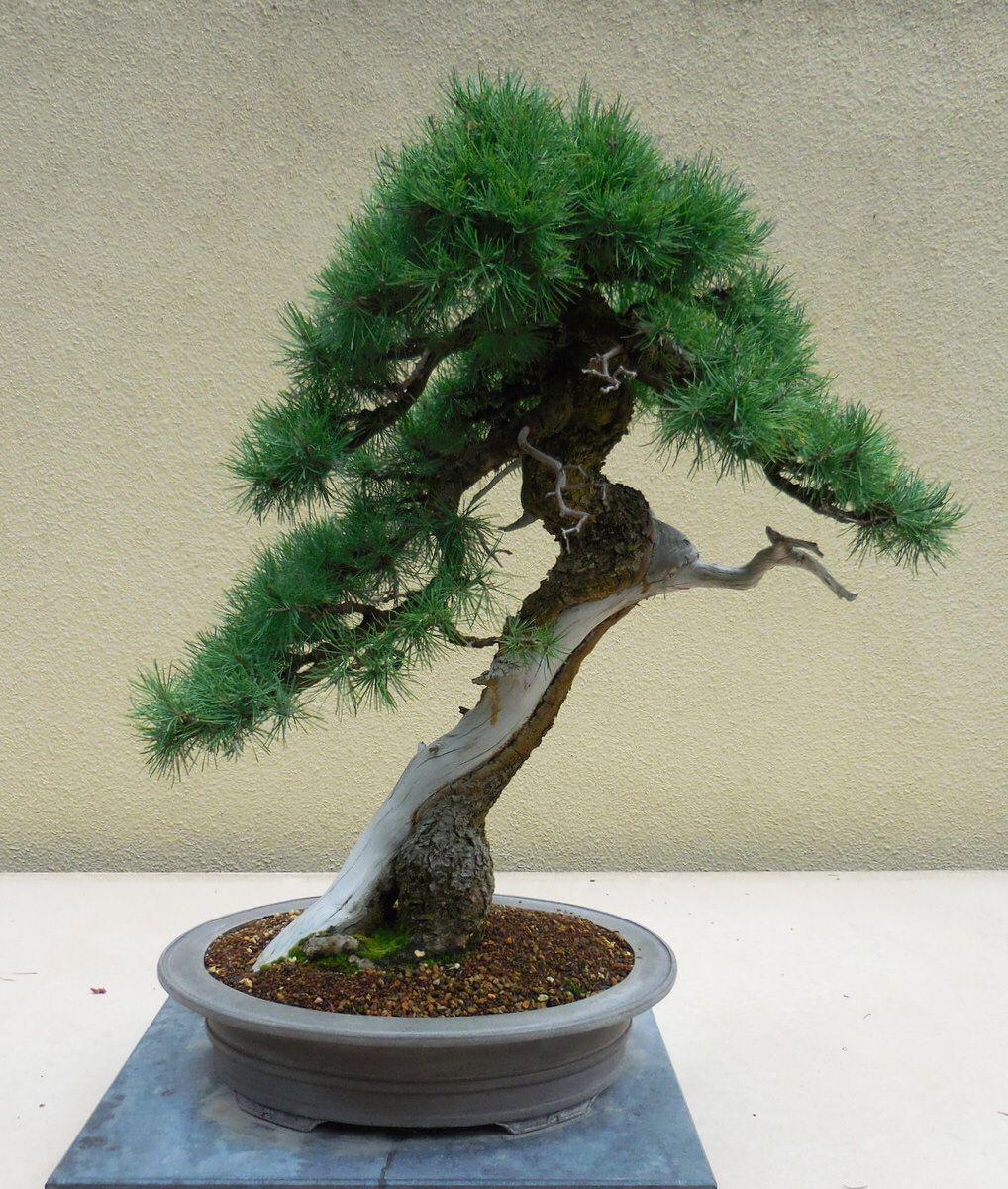 American larch bonsai