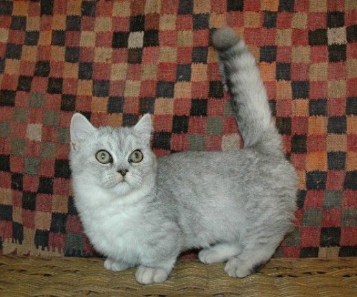 Munchkin Cat Breed The Perfect House Cat Munchkin Cat Cat Breeds Munchkin Kitten