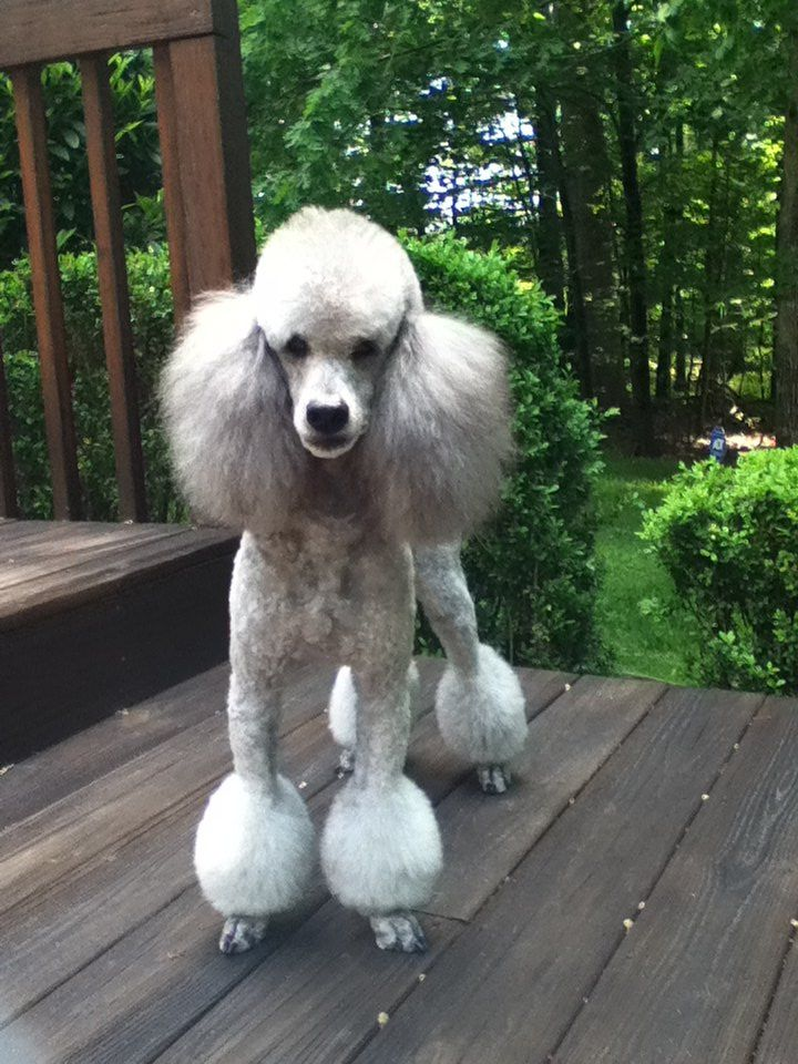 Cabryn Chagall In His Miami Trim Standard Poodle Haircuts