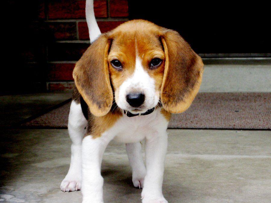 Fierce Beagle Puppy Beagle Sweet Dogs