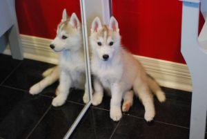 husky puppy 7 weeks