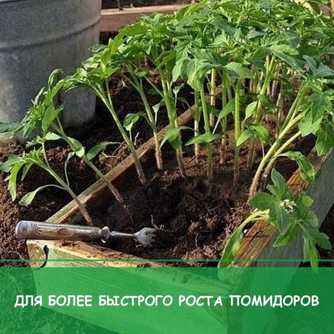 чем поливать помидоры от фитофторы