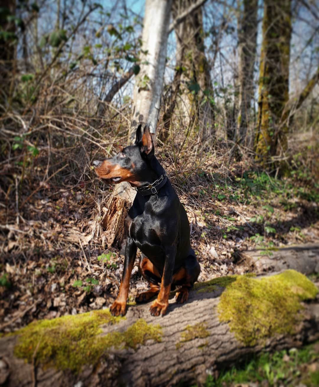 How to Stop Dogs and Puppies Barking #dogsofvancouver #dogsofinstagram #doberman_feature #dobie_love #instadobe #dobes #puppies #alldoberman...
