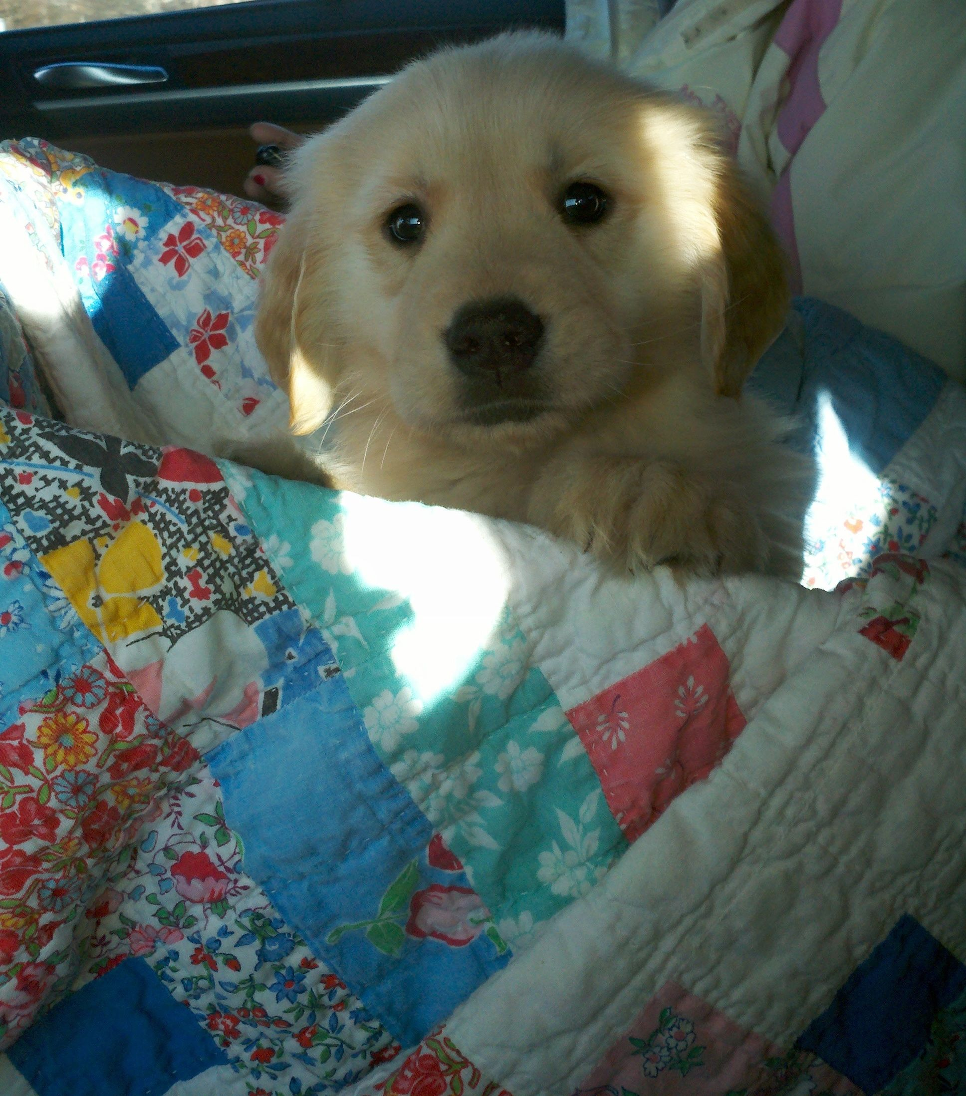 Golden Retriever Puppy...in a box Golden retriever puppy