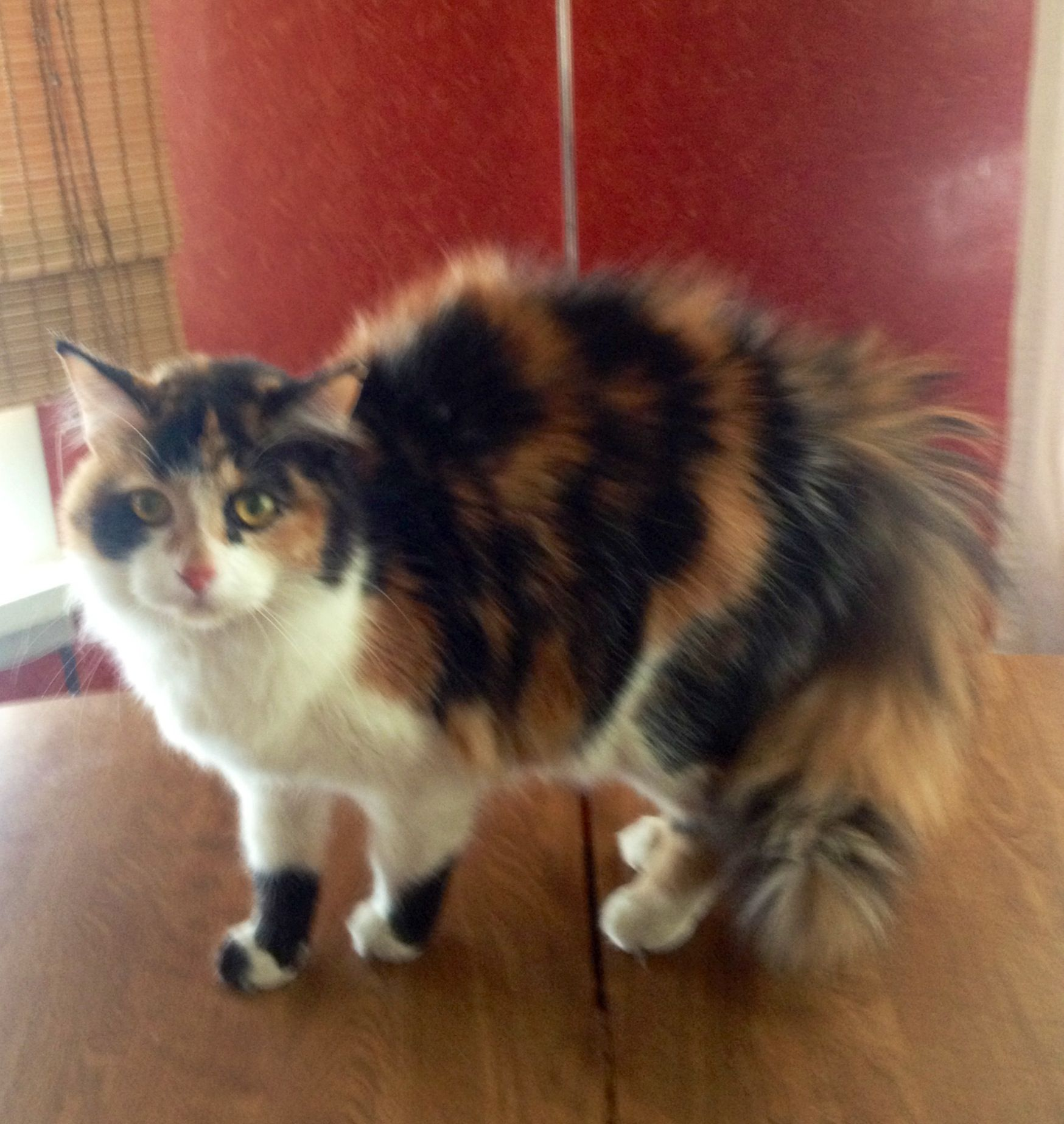 fluffy calico cat -#main