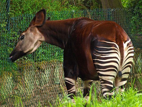 Okapi - Chester Zoo