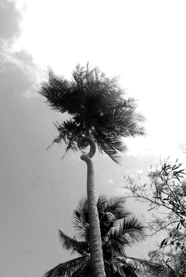 The corkscrew coconut tree, Barbados
