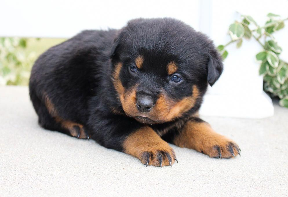 Everything We Admire About The Playful Rottweiler Dogs