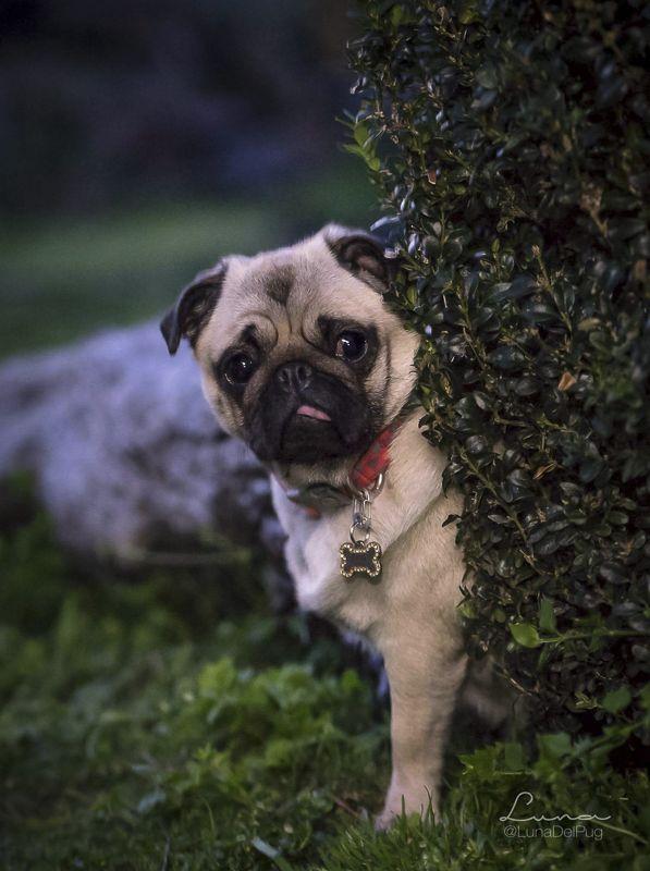Social Pug Profile Baby Pugs Pugs Cute Pugs