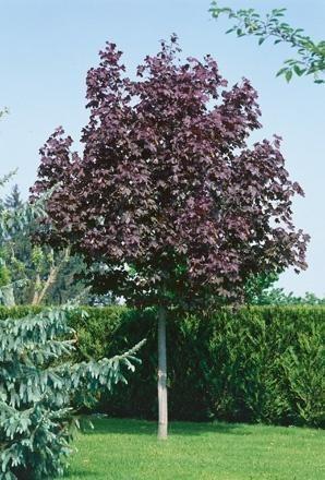 Norway Maple Acer Platanoides Crimson King Tree Outdoor - Norway maple crimson king