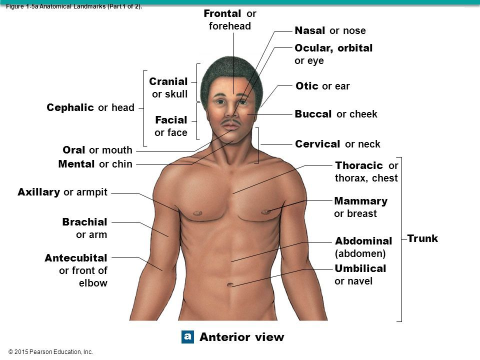 2015 Pearson Education, Inc. Chapter 1 Anatomy & Physiology 1 ...