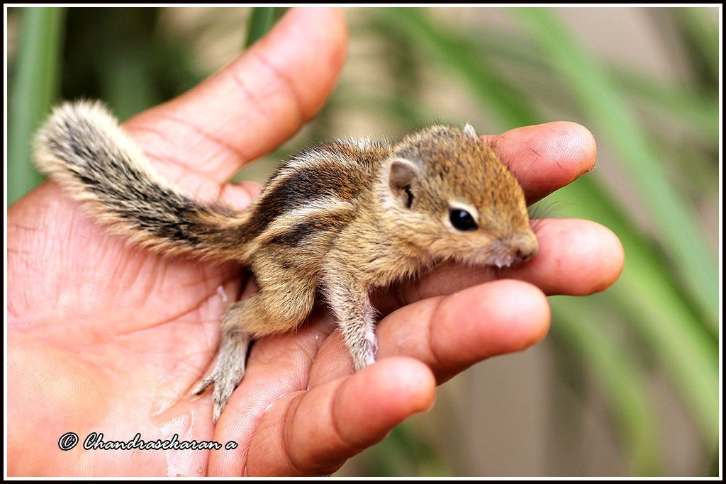 3252 Indian Palm Squirrel Indian Palm Squirrel Squirrel Indian