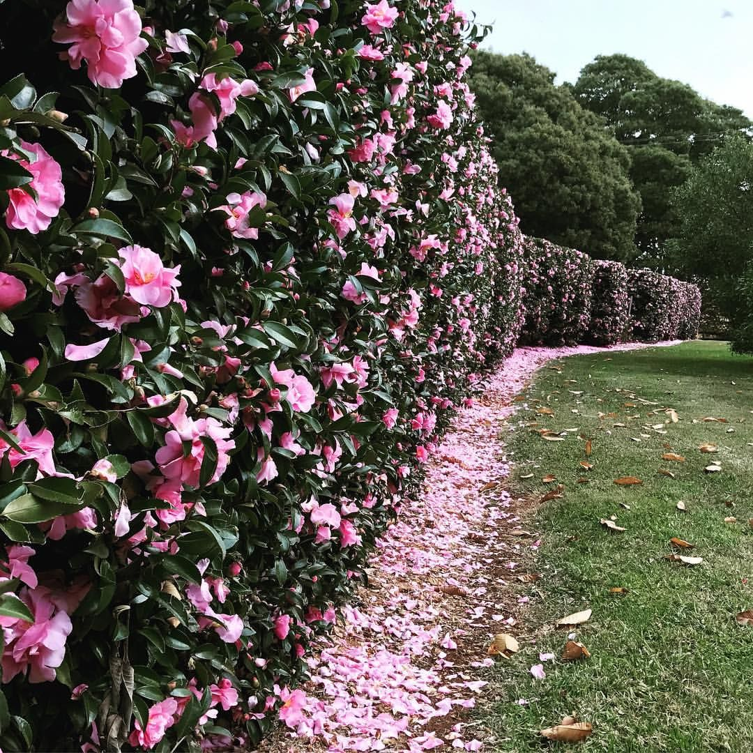 Wondering Whether Camellias Are Worth The Bother The Cliche Of Camellia Is That It S A Garish Flower With Br Hedges Landscaping Garden Hedges Evergreen Hedge