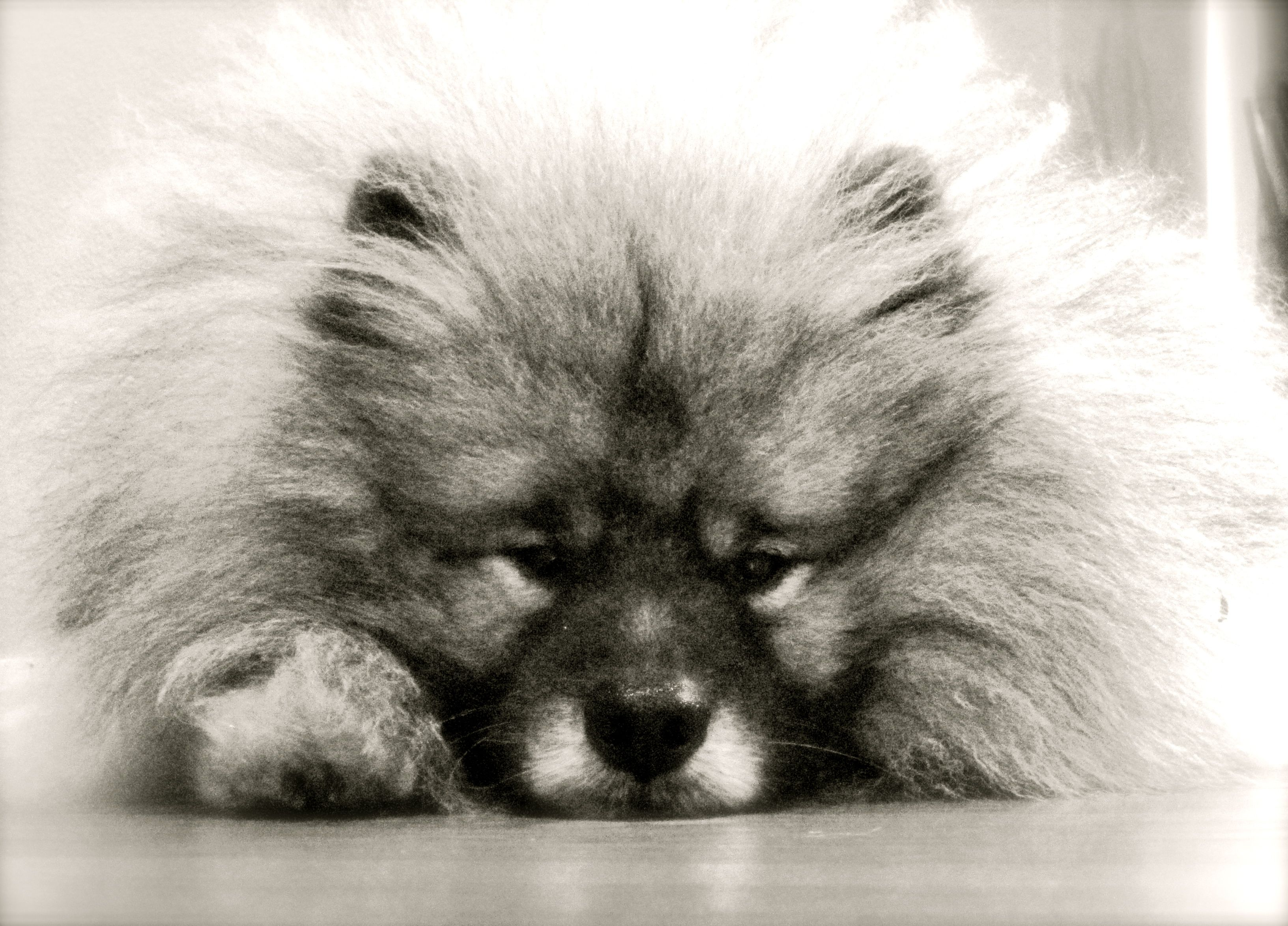 He's mad at me.. ( Keeshond ) Keeshond, Doggy, Dogs