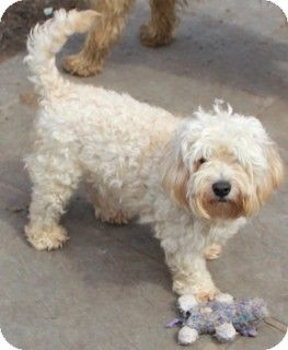 Lhasa Apso Cocapoosmix Cockapoo Lhasa Apso Mix Dog For Adoption