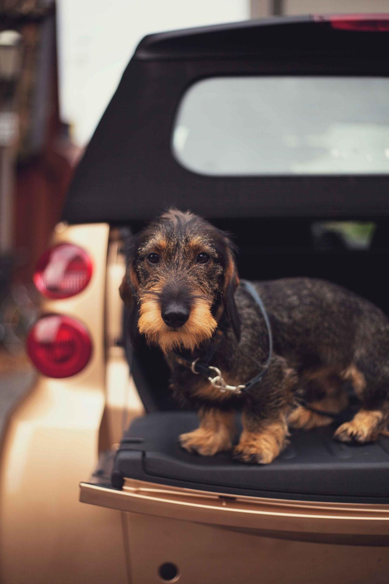 Love this dachshund wesc wire haired dachshund doxie