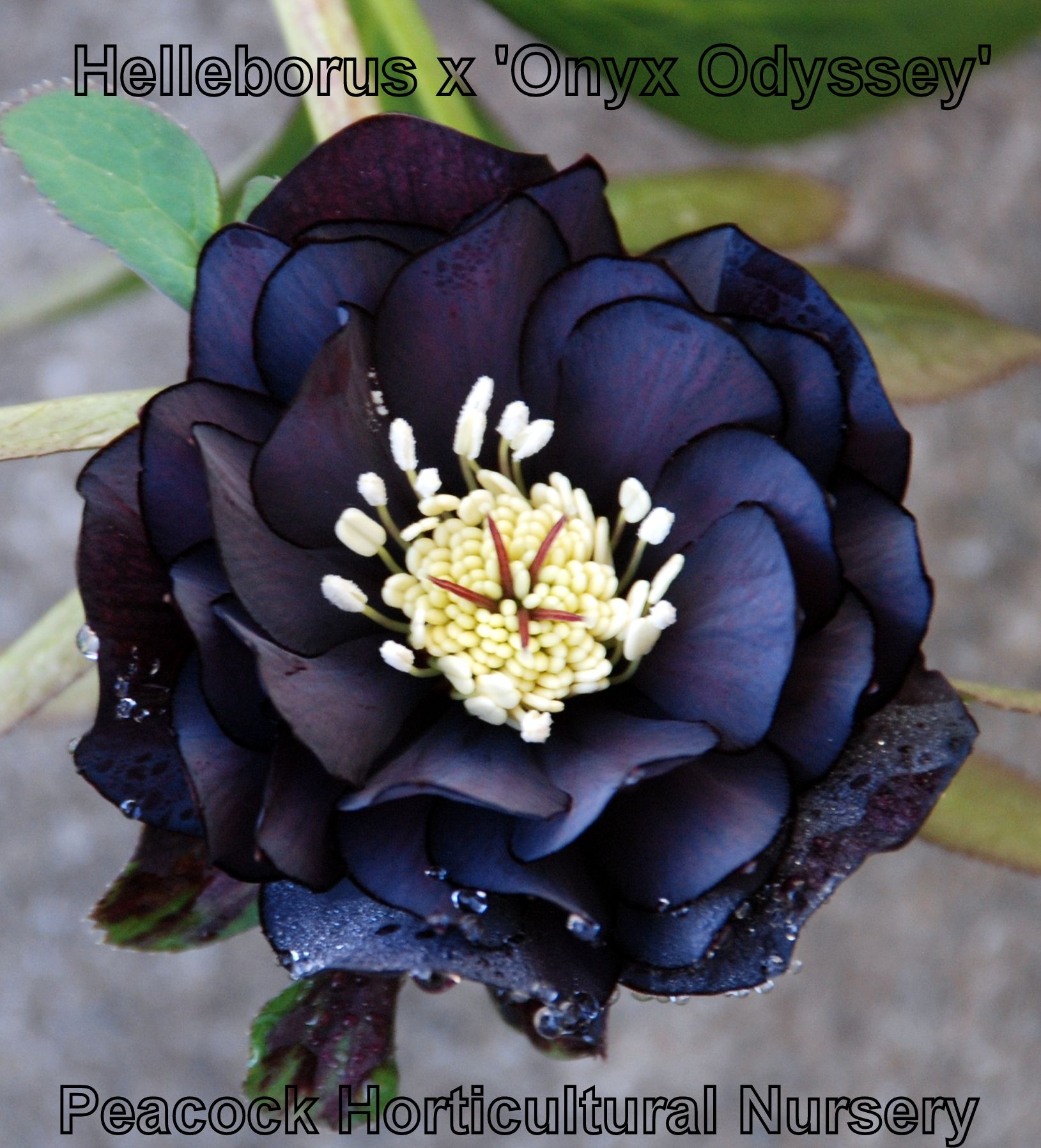 Helleborus X Onyx Odyssey Double Black Hellebore Blooming In The Nursery Now