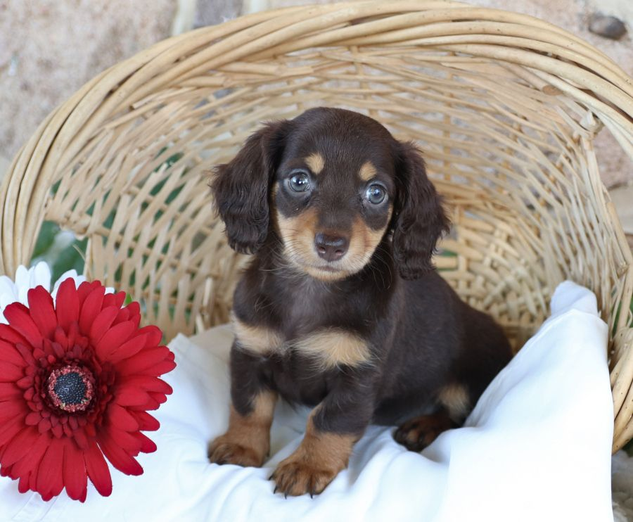 Meet Gorgeous Minidachshund Puppy Tiny Who Is Looking Forward To Her New Lovinghome This Sweetie Is So Playful And Cu Mini Puppies Baby Dogs Puppies