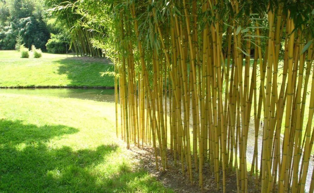Bambus - Pflanzen, Pflege Und Tipps Bambus Im Garten Tipps