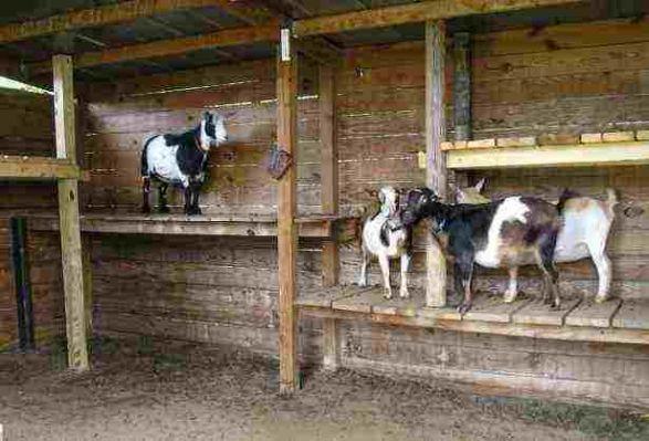 pygmy goat house plans | Goats | Pinterest | Pygmy goat house and ...