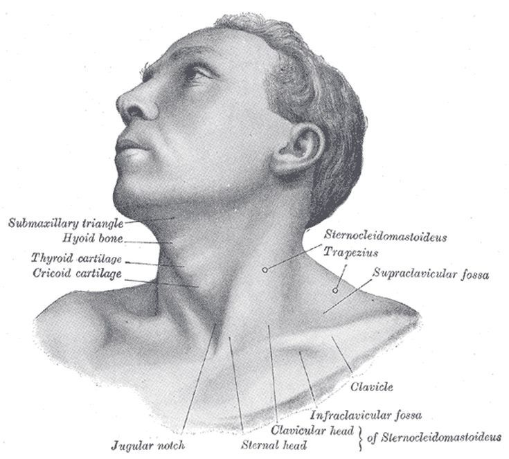 Draw a Better Head and Neck by Learning Their Anatomy   Anatomy and Draw