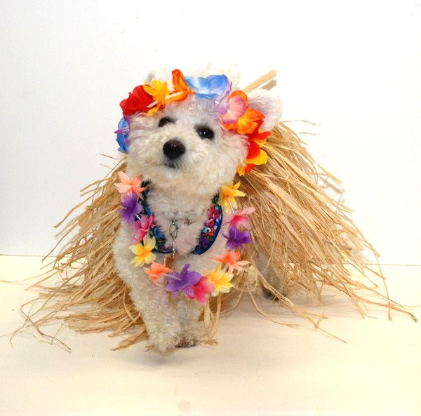 Hawaiian Hula Dancer Dog Costume Easy To Make No Sewing Needed