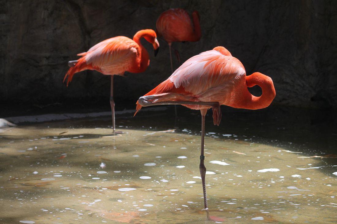 Un flamingo, sin camarones que buscar, decide mejor dormir.