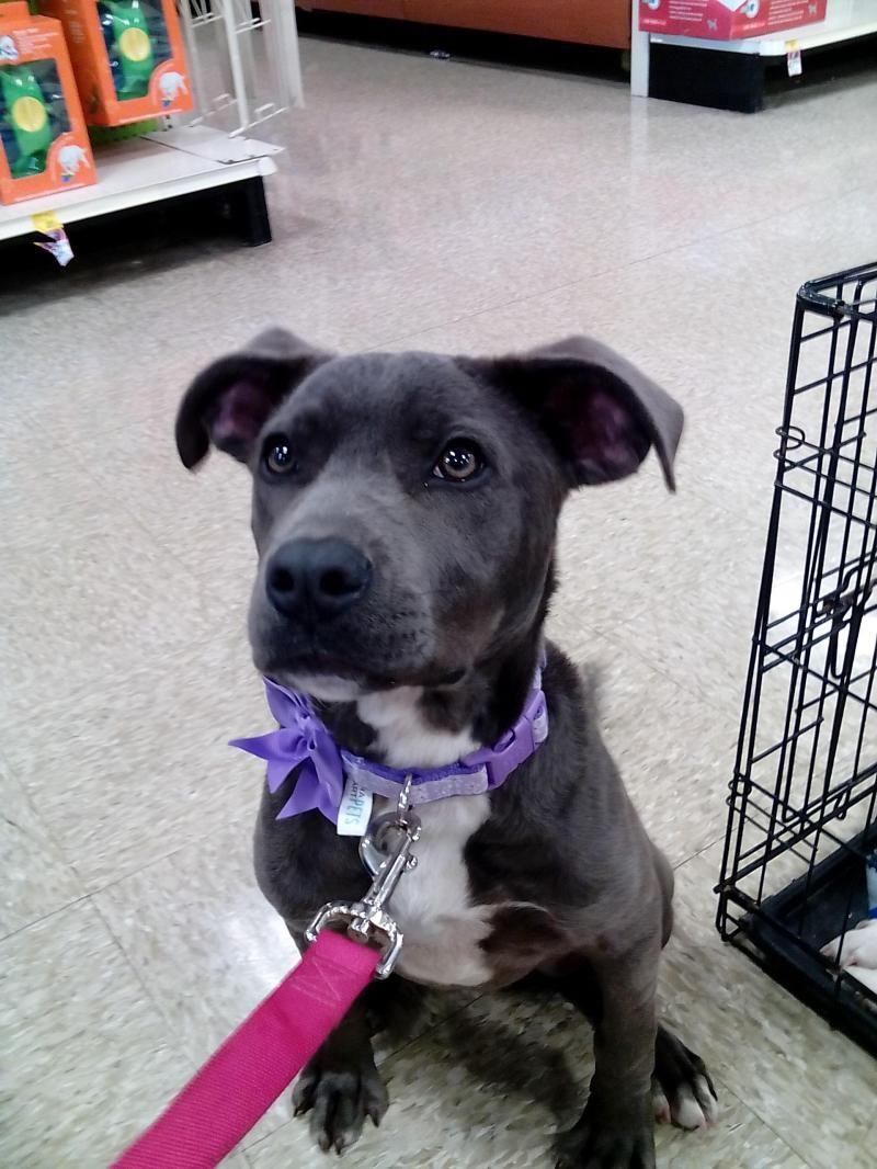 Adopt Roxie On Nashville Dogs For Adoption Pitbull Terrier