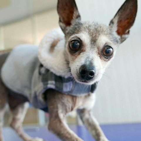 Chihuahua dog for Adoption in Austin, TX. ADN762799 on