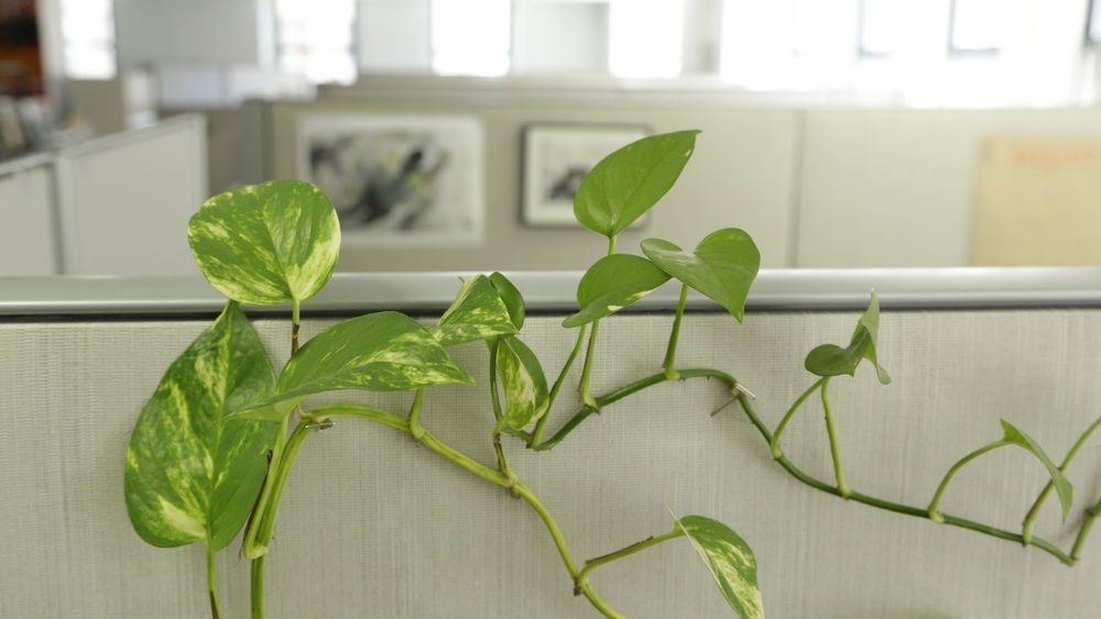 cheap office plants. PopSci: Indoor Plants Could Work As Cheap Air Filters For Offices Https:// Office A