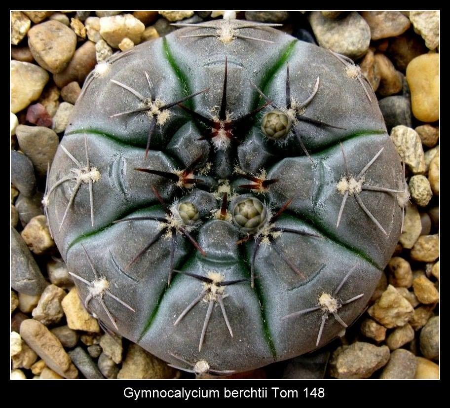 gymnocalycium berchtii cactus plant