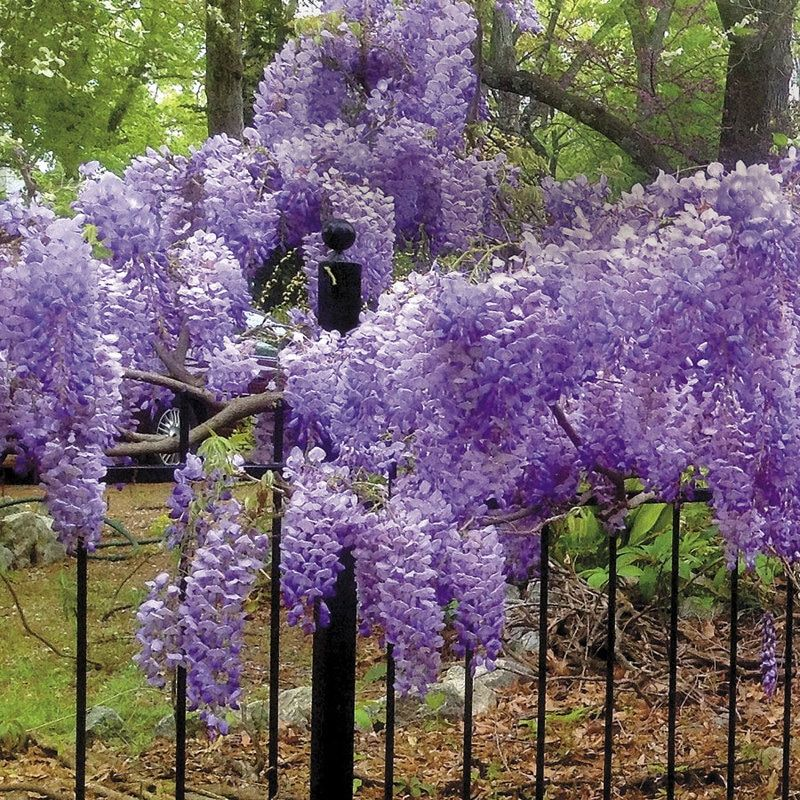 They Are Magical Looking As They Are Blooming And Can Be Found Growing Wild At The Edge Of Wooded Areas These A Wisteria Plant Climbing Plants Flowering Vines