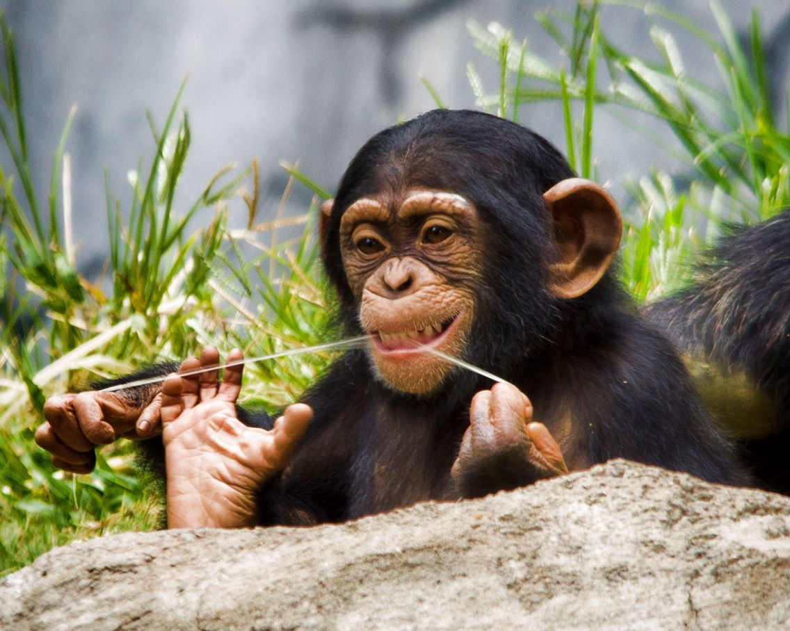 Chimpanzee | Tiere wild, Tiere, Affen
