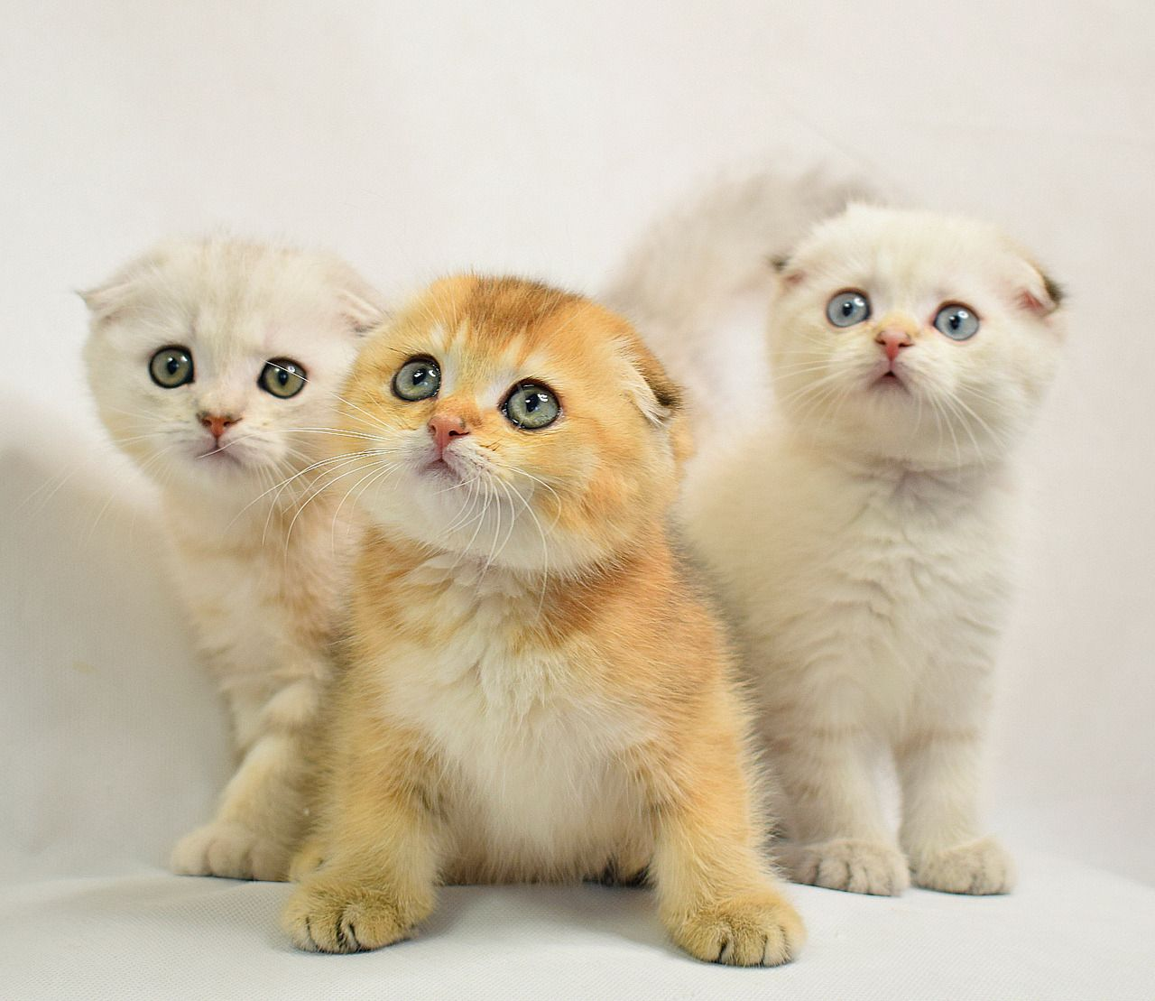 Scottish fold kittens Music IndieArtist Chicago