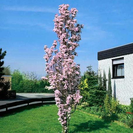 japanische s ulenkirsche ziergeh lze my garden pinterest garten garten pflanzen und. Black Bedroom Furniture Sets. Home Design Ideas