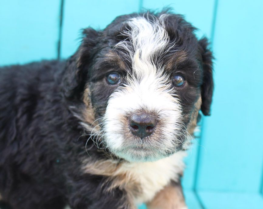Meet Shelby Bernedoodle Puppers Near Fort Wayne Indiana For