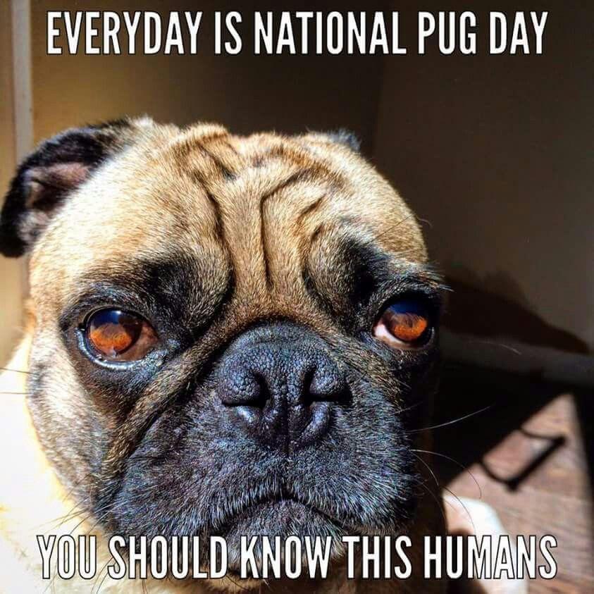 So True Pugs Funny Pet Pug Pugs