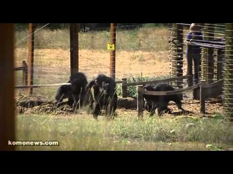 Chimps taste outside for first time!