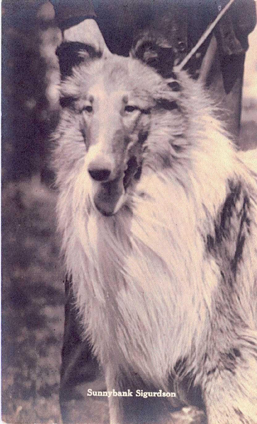 Sigurdson With Images Rough Collie Collie Breeds Best Dog Breeds