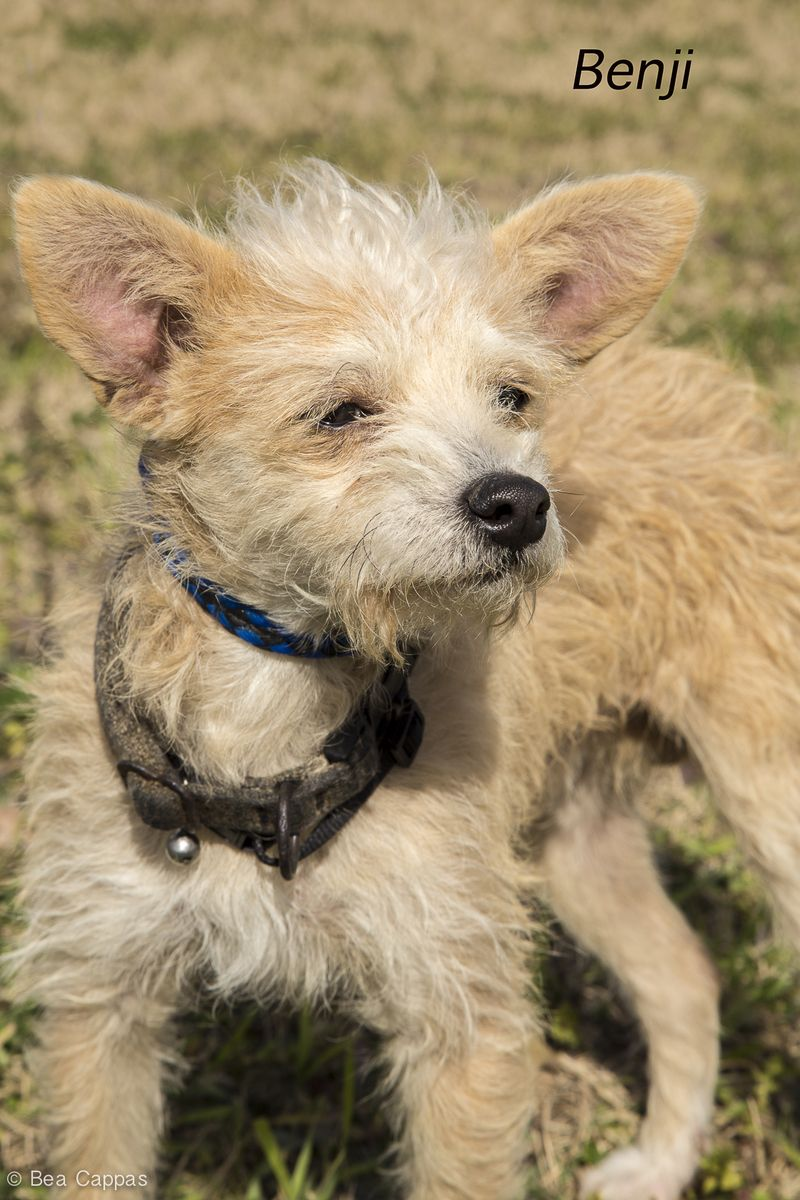 Adopt Benji On Lap Dogs Animals Cairn Terrier Mix