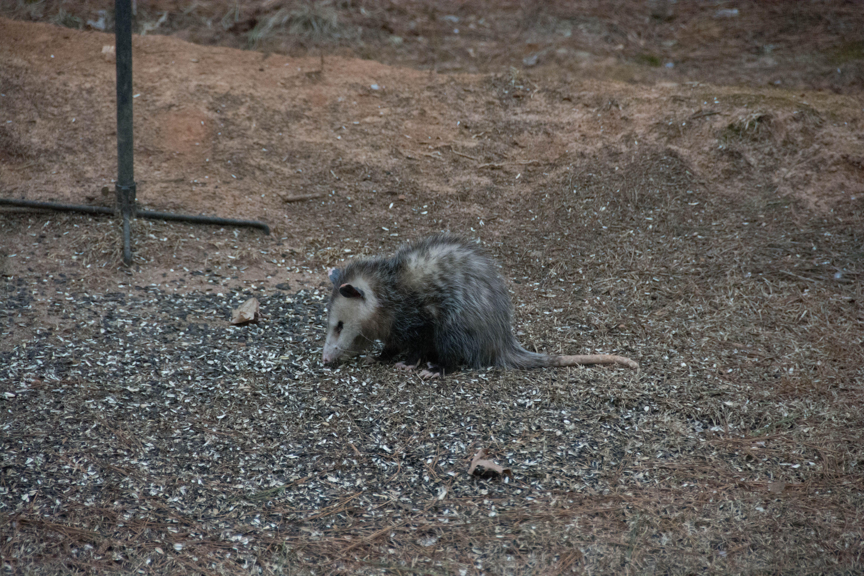 Possum in the backyard eating bird seed   Backyard eating ...