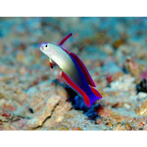 Purple Firefish Nemateleotris Decora Goby Fish Fish Marine Fish