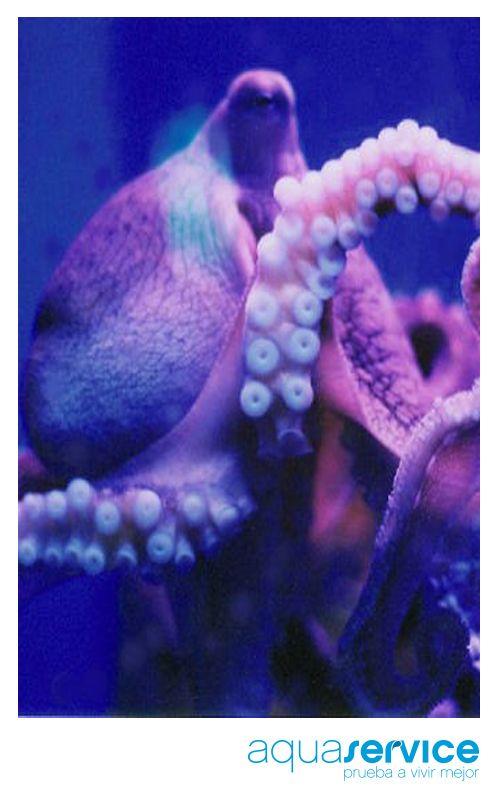 """¿Los pulpos tienen """"habilidades sociales""""? Te lo contamos en el blog de Aquaservice: http://www.aquaservice.com/informacion/los-pulpos-tienen-habilidades-sociales/"""