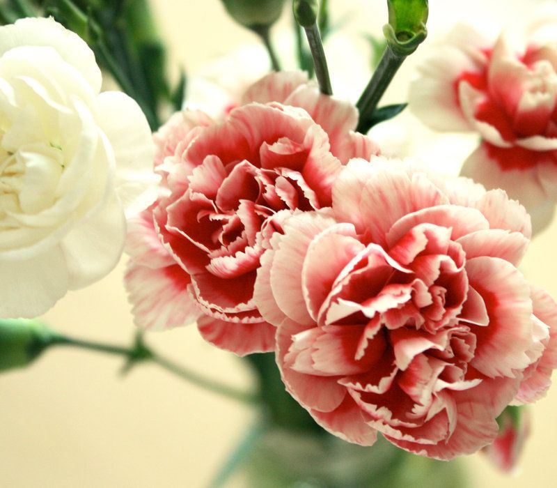 "Carnations ""nice colors"""