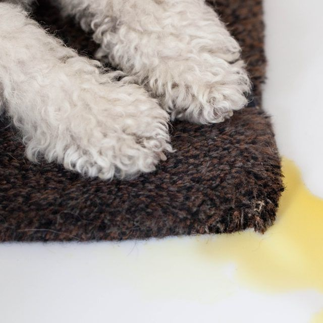 How to Get Dried Dog Urine Out of Carpet | Dog, Remove ...