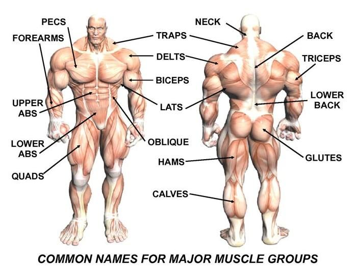 major muscle groups | weight lifting – exercises & techniques, Human Body