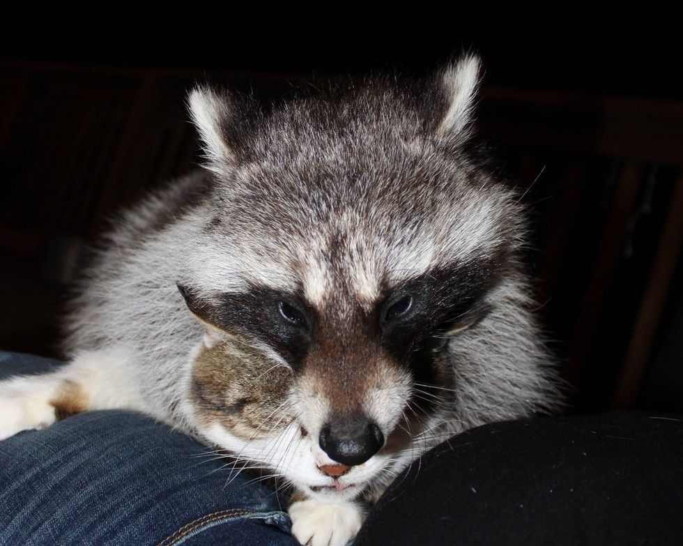 Barn Cat Helped Rescued Raccoon Get Back to the Wild Cat