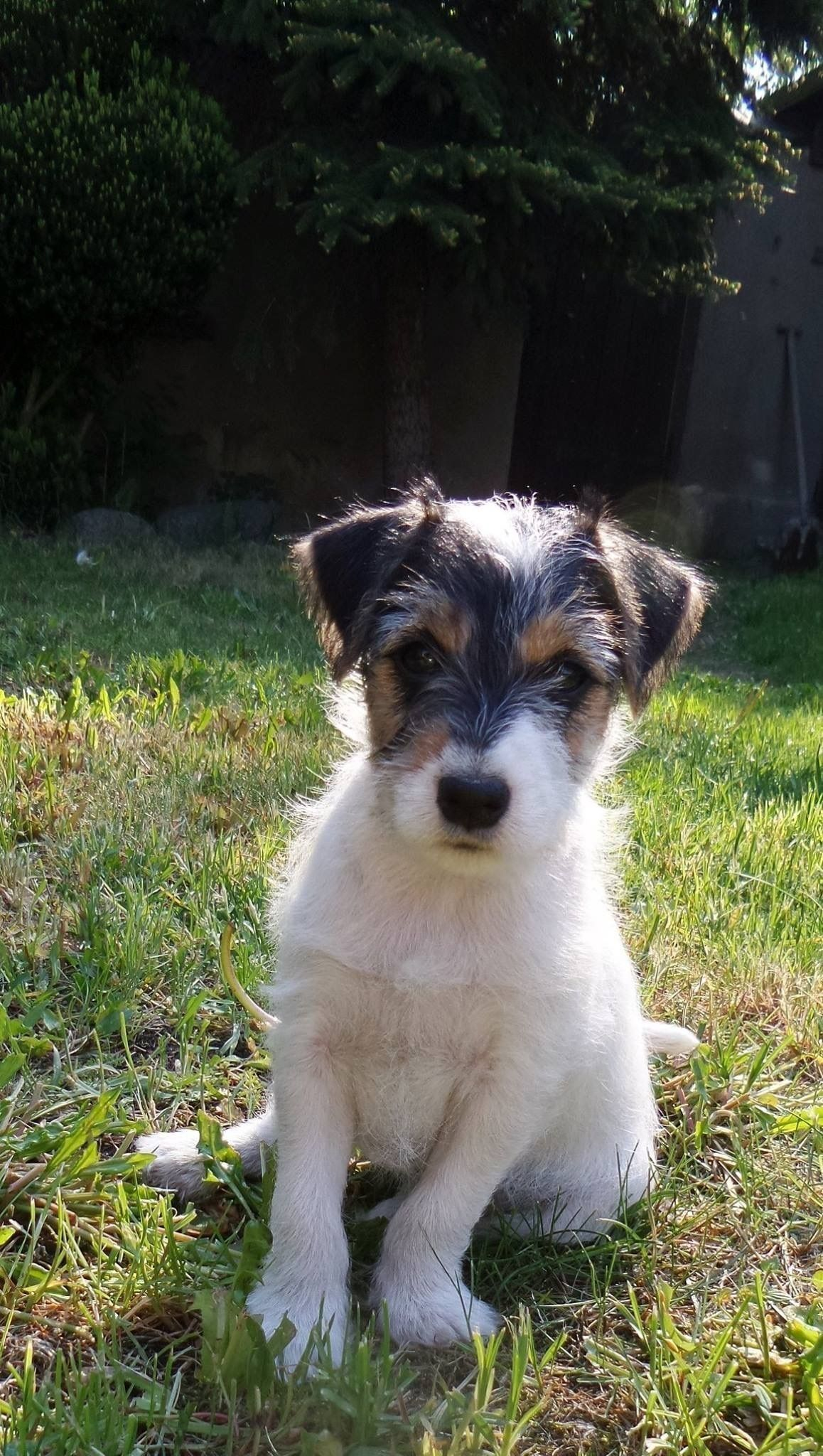 Pin by Thea H. on Cute Cute dogs, Parsons terrier, Terrier
